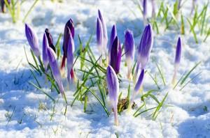 spring_flower_snow